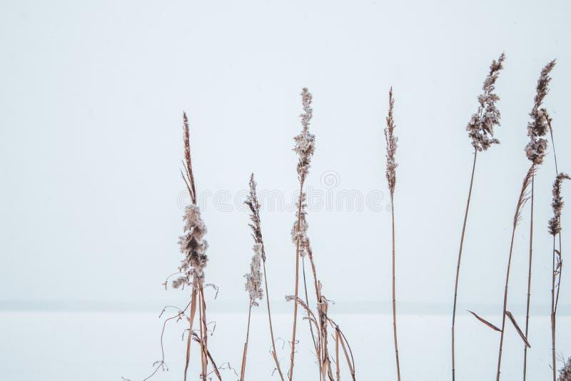 Тростники в снеге на береге замороженного реки стоковое фото rf