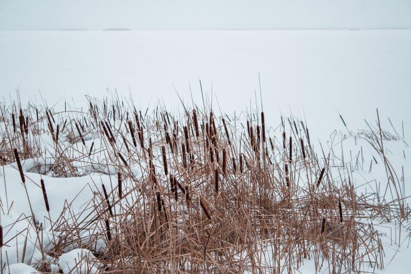 Тростники в снеге на береге замороженного реки стоковое изображение