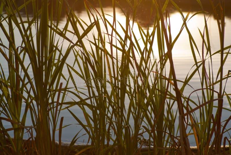 Тростники в backlit стоковая фотография