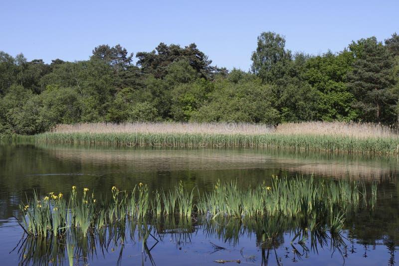тростники заводов более смелейшего озера простые отразили стоковое фото