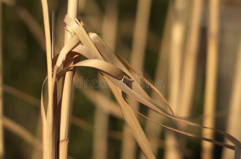 Тростники зимы стоковое изображение rf