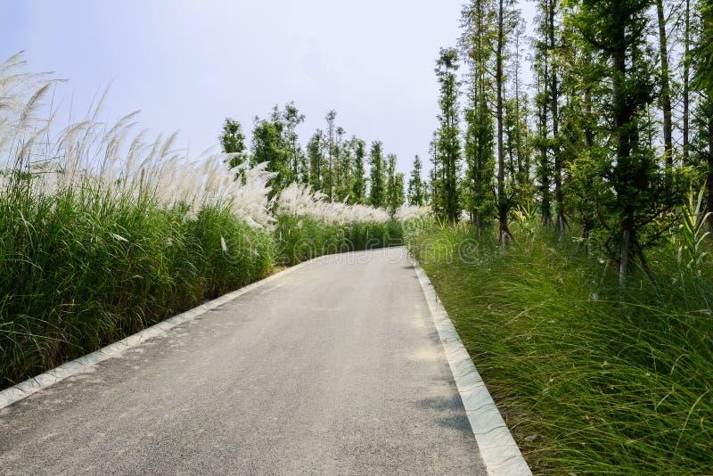 Тростники и деревья вдоль дороги асфальта в солнечном лете стоковые фото