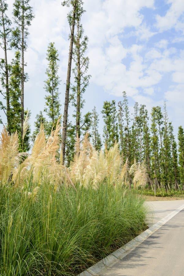 Тростники и деревья обочины в солнечном лете стоковые изображения rf