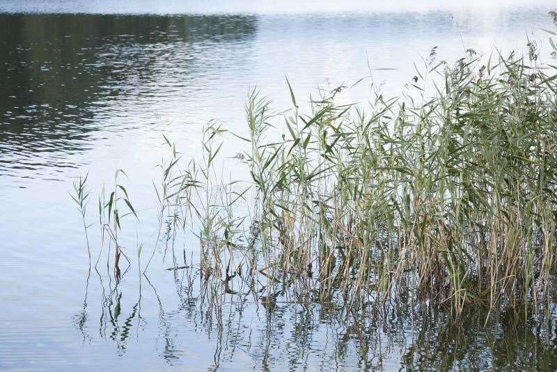 Тростники и длинная трава в озере стоковая фотография rf