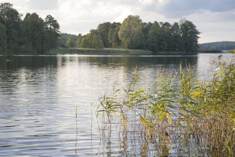 Тростники и длинная трава в озере стоковое изображение rf