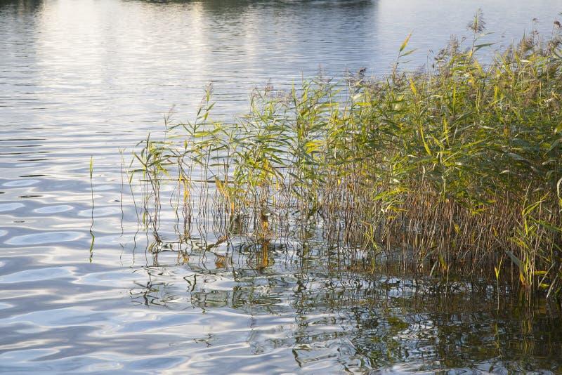 Тростники и длинная трава стоковые изображения