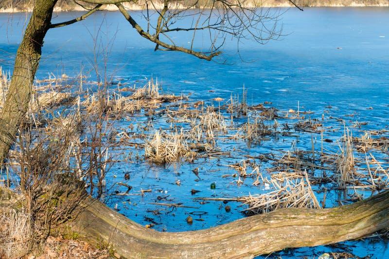 Тростники и отражение в неподвижной воде стоковое фото