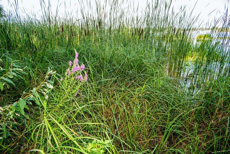 Тростники и розовые цветки стоковое фото rf