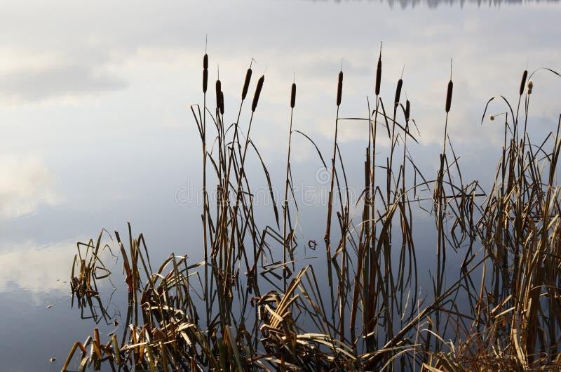 Тростники и ширь озера стоковая фотография rf