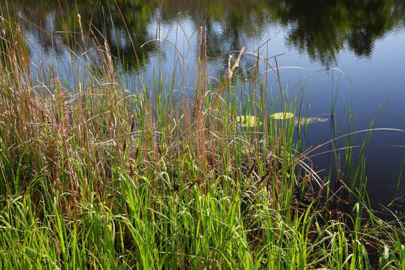 Тростники на банке реки стоковые фотографии rf