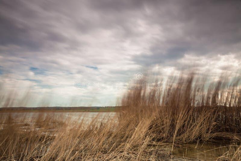 Тростники на Балтийском море стоковое фото