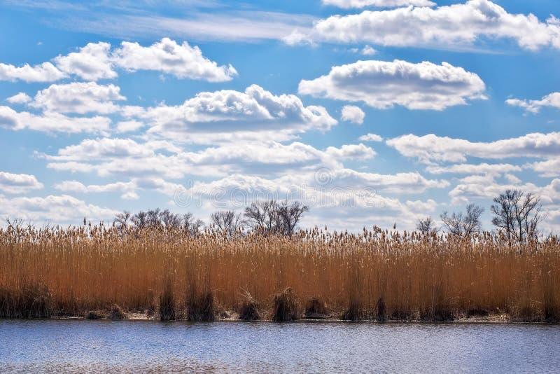 Тростники на береге озера и голубого облачного неба стоковая фотография