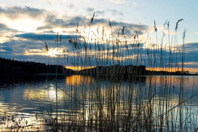 Тростники на заходе солнца стоковая фотография rf