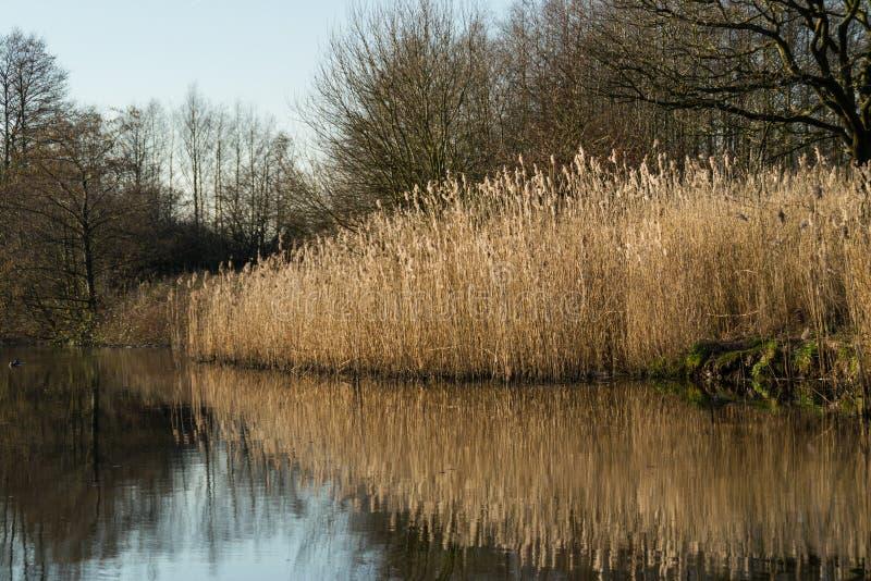 Тростники на канале. стоковые фото