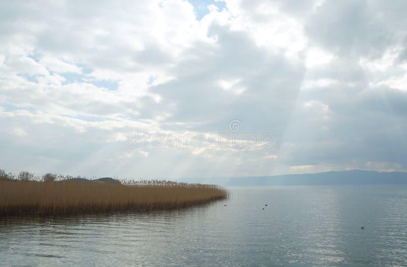 Тростники на озере Ohrid, македонии, чайке летая стоковое изображение