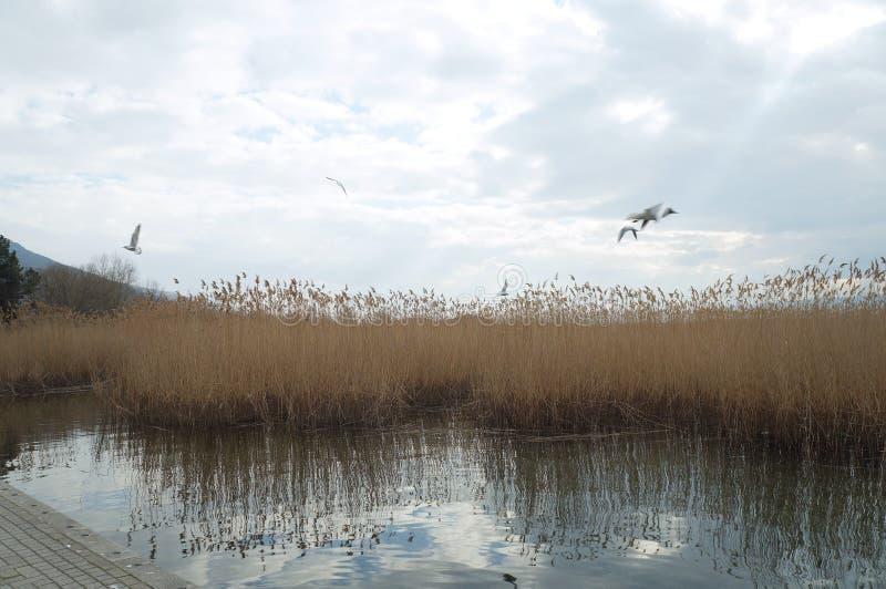 Тростники на озере Ohrid, македонии, чайке летая стоковая фотография rf