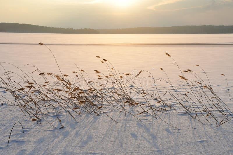 Тростники на озере Uvildy в области Челябинска загорены по солнцу в зиме Россия стоковая фотография rf