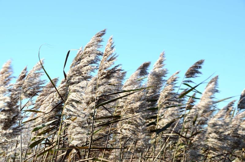 Тростники на побережье Балтийского моря стоковые изображения