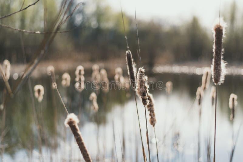 Тростники на предпосылке озера Тростники с вниз весной стоковая фотография