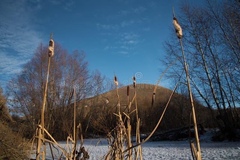 Тростники на предпосылке голубого неба стоковая фотография