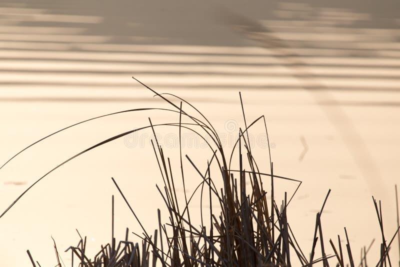 Тростники на предпосылке захода солнца стоковые фотографии rf