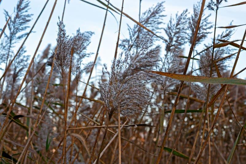 Тростники озера двинули ветром, на зиме стоковое фото rf