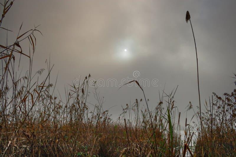 Тростники озера положенные в кожух в туман стоковое фото rf