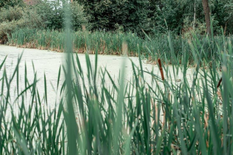Тростники озером, весенним днем, в природе, пруд перерастанный с травой, в парке на вечере льда Зеленая вода с грязью стоковая фотография