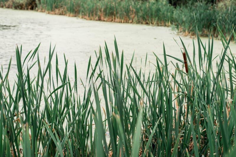Тростники озером, весенним днем, в природе, пруд перерастанный с травой, в парке в раннем утре стоковые изображения rf
