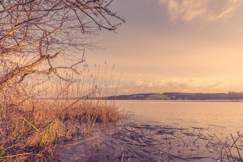Тростники озером в утре стоковые фото