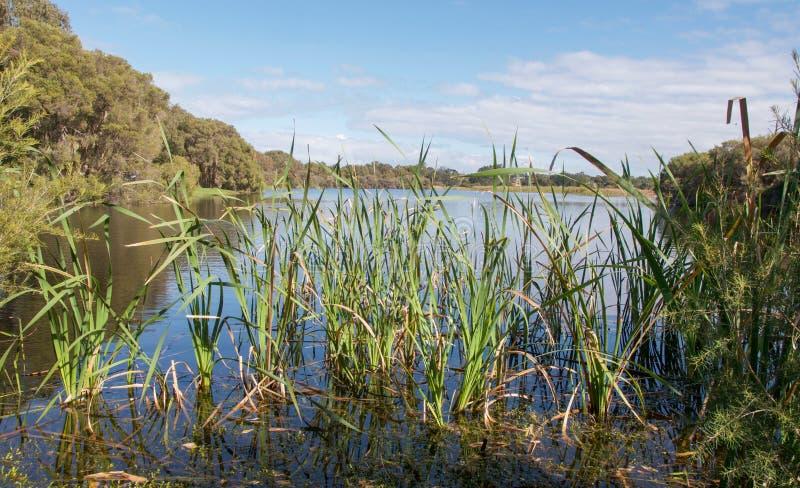 Тростники: Озеро пастух стоковые фото
