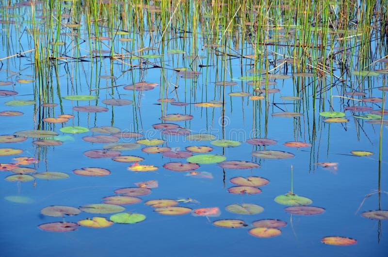 Тростники, отражения и красочные пусковые площадки Waterlily стоковая фотография