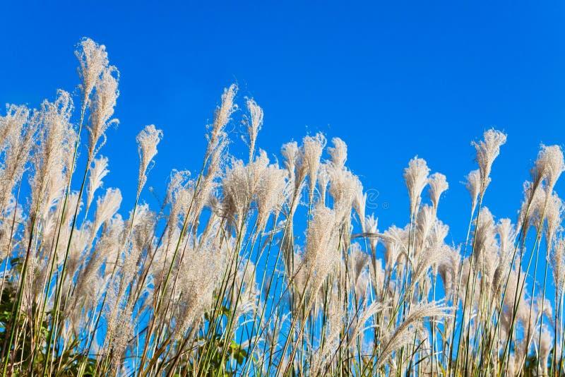 Тростники под ясным небом стоковая фотография
