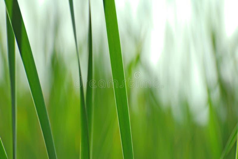 тростники предпосылки стоковая фотография