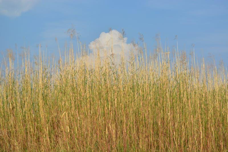 Тростники против неба стоковое изображение rf