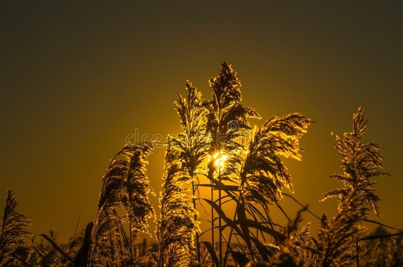 Тростники рано утром стоковое фото