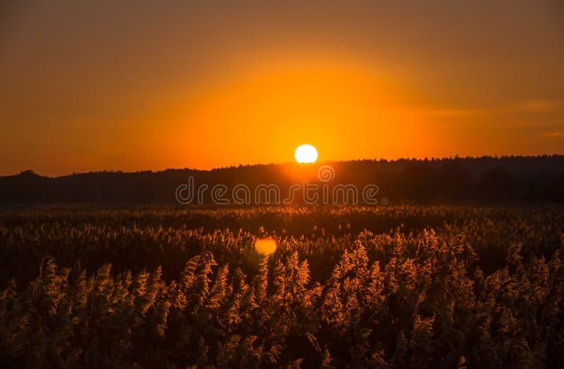 Тростники рано утром стоковое изображение