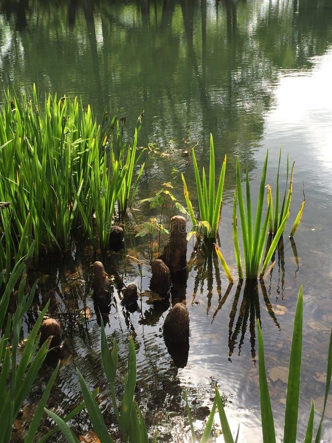 Тростники радужки и колени кипариса стоковое фото rf