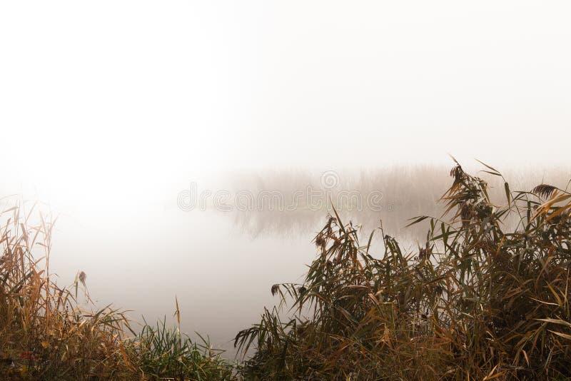 Тростники рекой на туманный день стоковая фотография rf