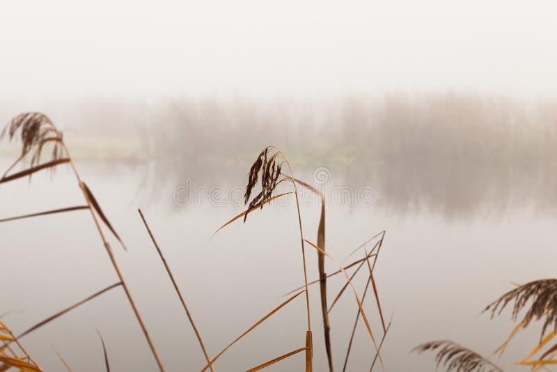 Тростники рекой на туманный день стоковое фото rf