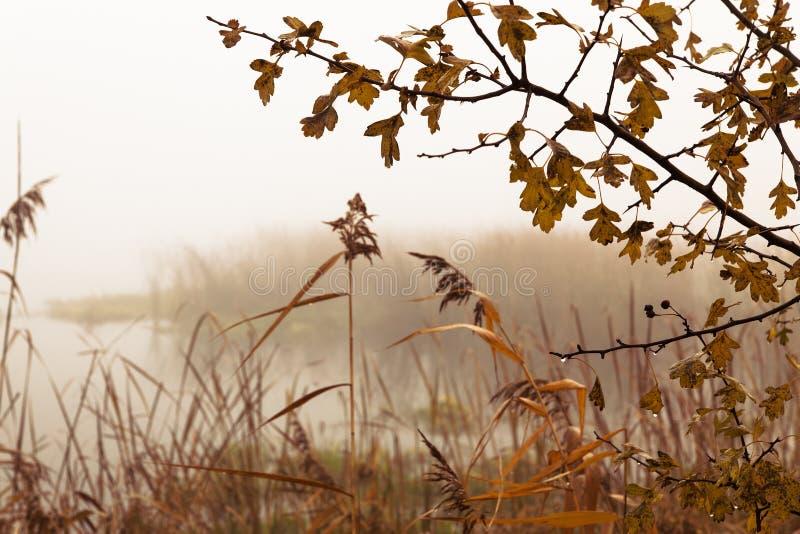 Тростники рекой на туманный день стоковые изображения