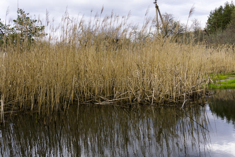 Тростники рекой стоковое фото