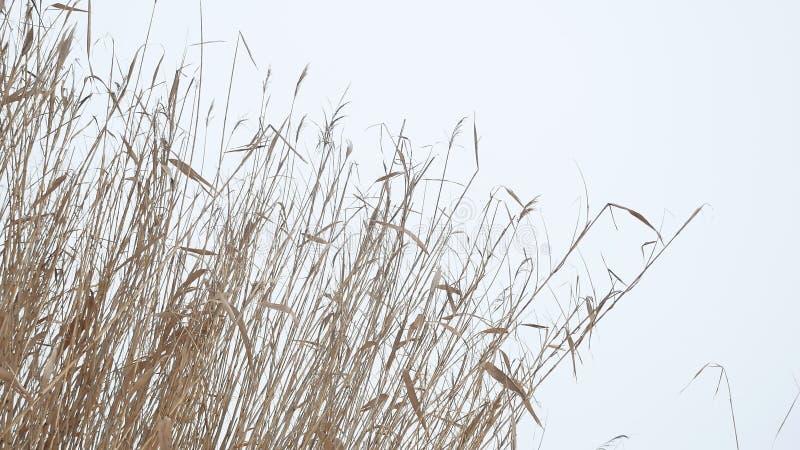 Тростники сухой травы Cattail на реке в зиме снега благоустраивают Россию стоковые изображения rf