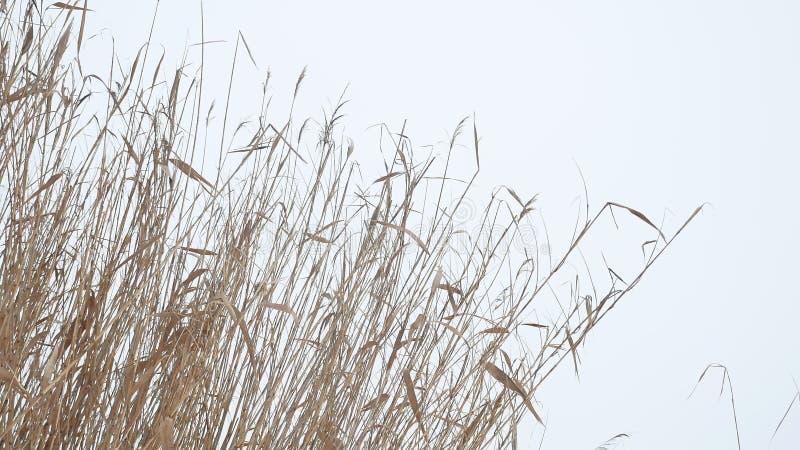 Тростники сухой травы Cattail на реке в зиме снега благоустраивают Россию стоковая фотография rf