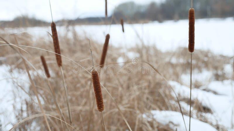 Тростники сухой травы Cattail на реке в зиме снега благоустраивают Россию стоковое изображение rf