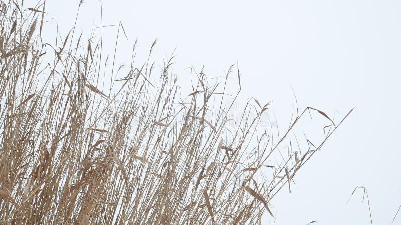 Тростники сухой травы Cattail на реке в зиме снега благоустраивают Россию стоковые фотографии rf