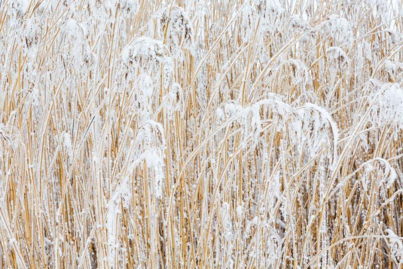 Тростники с заморозком стоковая фотография rf
