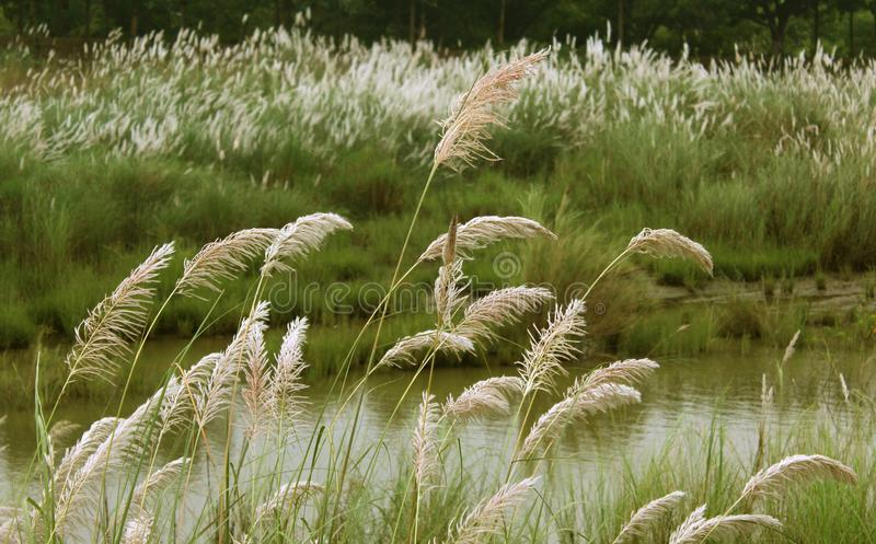 Тростники с ландшафтом зеленого цвета реки естественным стоковая фотография