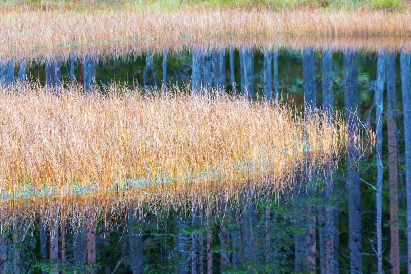 Тростники с отражением воды стоковая фотография rf