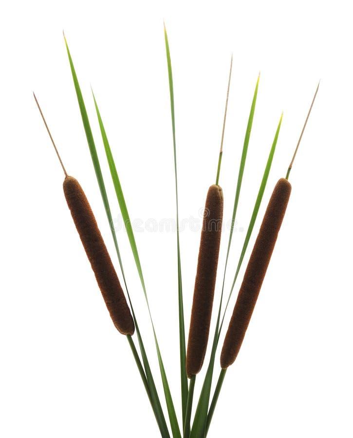 Тростники с bulrush стоковая фотография